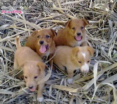 sonajero y oboe ( dos perritos que buscan familias). Sevilla.  Tgil-cachorroscampo1