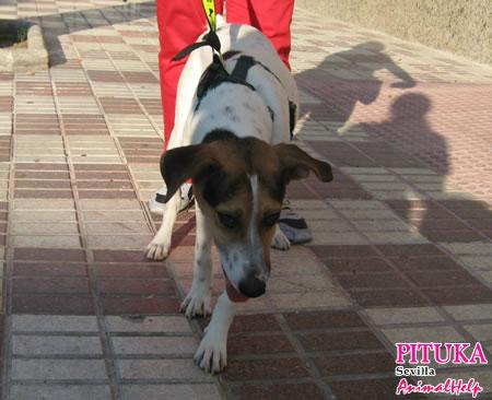 gordi y pituka ( dos perras en adopción). Sevilla. Tgil-pituka4